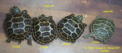 Russian tortoise egg hatchinglings