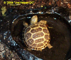 Russian tortoise hatchling drinking
