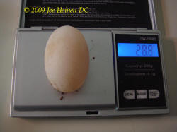 weighing an egg